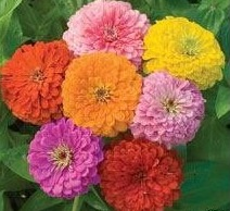 Zinnias1 Flowers for cat lovers—finally some cat safe choices