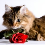 cat with rose 150x150 Flowers for cat lovers—finally some cat safe choices