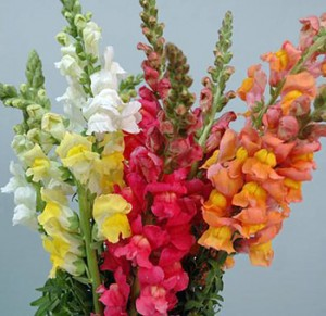snapdragons1 300x291 Flowers for cat lovers—finally some cat safe choices