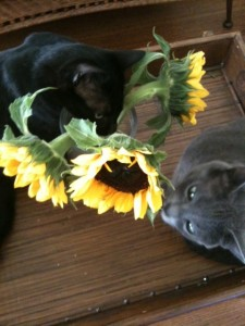 cats eating flowers 225x300 Flowers, cats, and a vase that doesnt tip over!