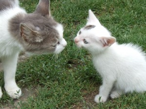 introducingcats 300x225 How to get cats to get along   smart behaviorists share insights