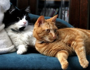 two cats 300x233 How to get cats to get along   smart behaviorists share insights